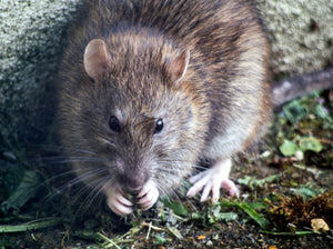 Impact Rodent Control - Wireless Solutions