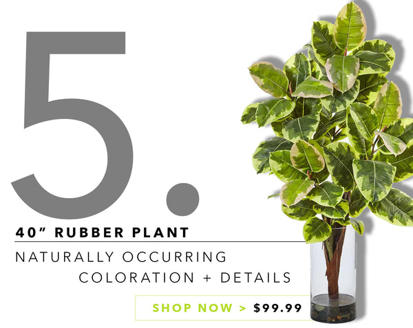 Groovy {Silk} Greens For Father's Day: Rubber Leaf Plant