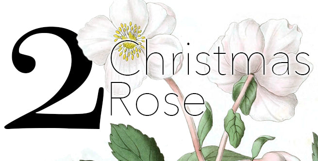 Iconic Christmas Flowers And Plants: Christmas Roses