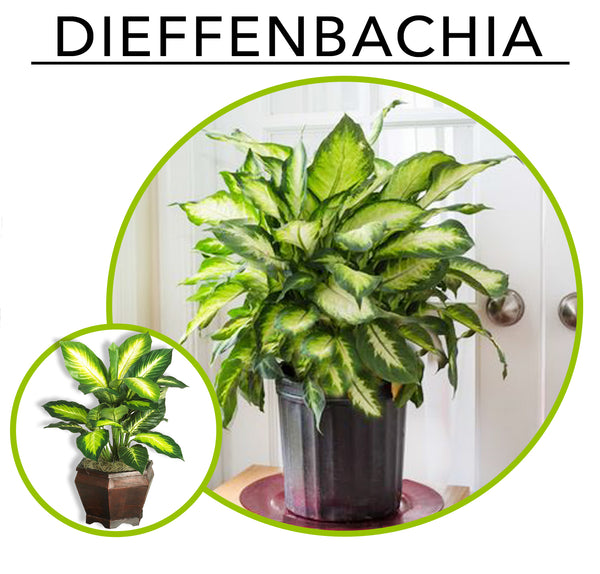 Tropic Like its Hot; Artificial Plants To Create Your Own Urban Jungle Indoors: Dieffenbachia