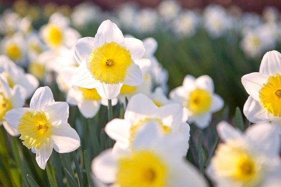 December Birthflower: Narcissus