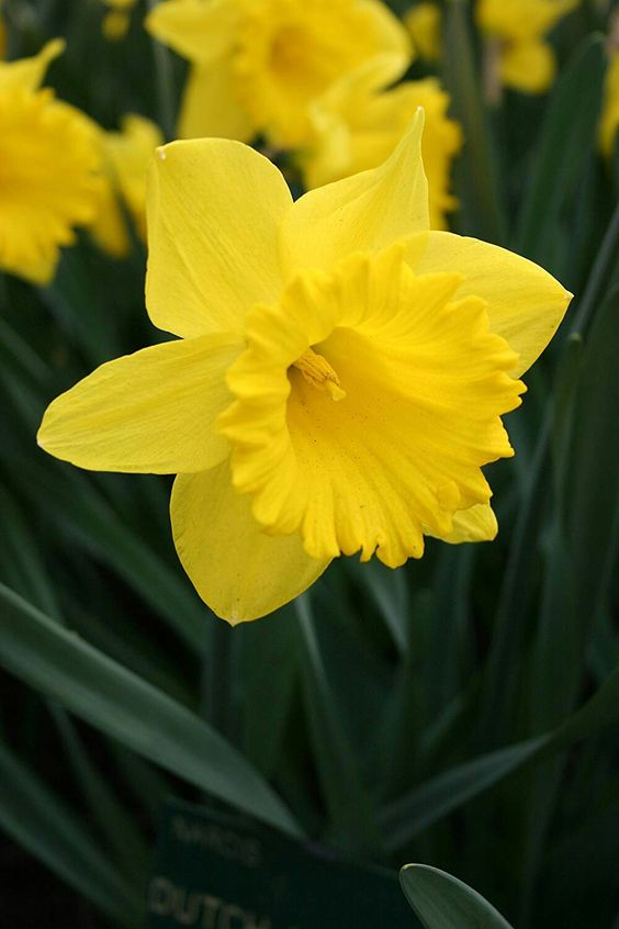 December Birthflower: Narcissuss