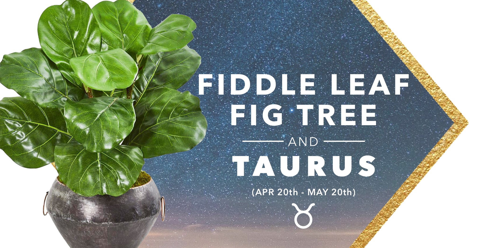 SILK FIDDLE LEAF TREES & TAURUS