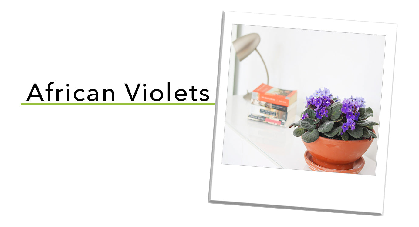 African Violets Houseplant