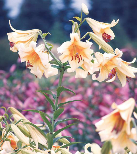 May's Birthflower: Lilies