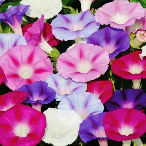 Mixed Colors of Morning Glory