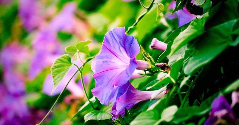 Morning Glory Blossoms in Pink