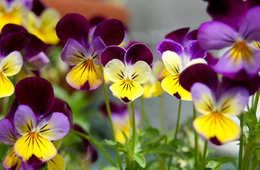 February's Birthflower: Violets