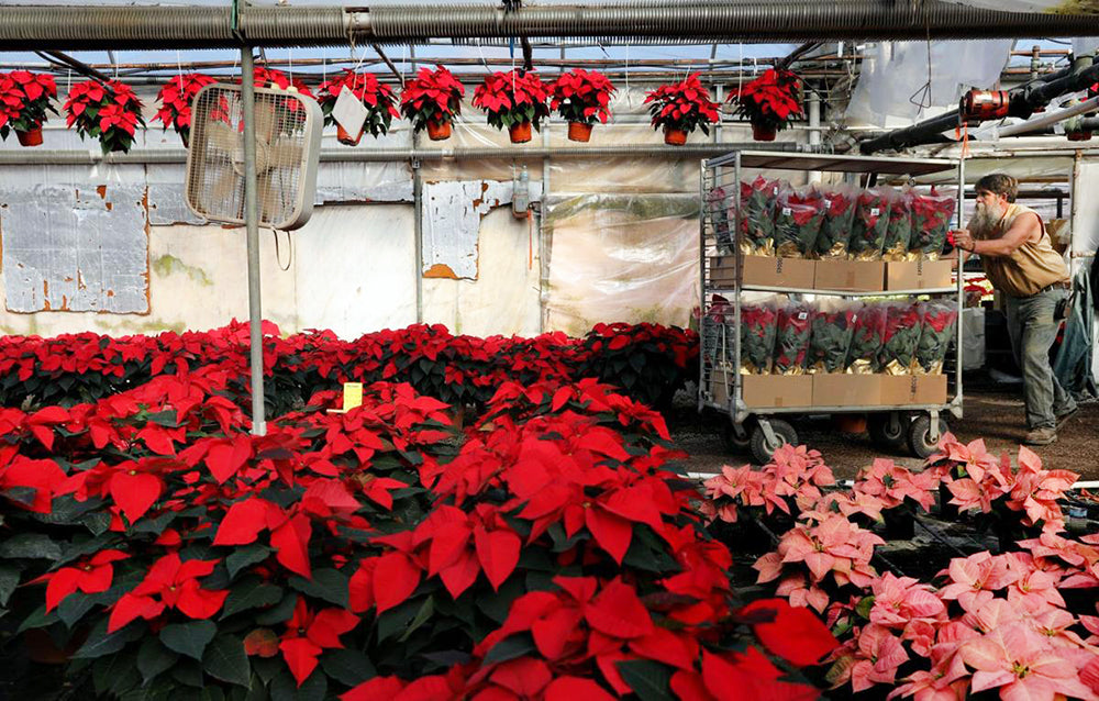 National Poinsettia Day: Fun Facts About This Winter Flower