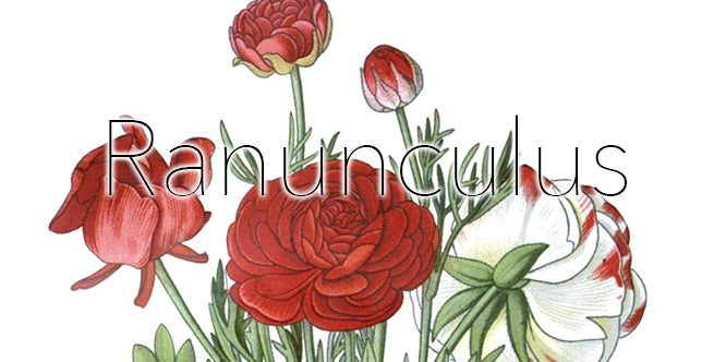 Artificial Winter Florals To Outlive The Holidays: Ranunculus