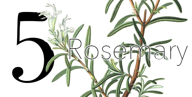 Iconic Christmas Flowers And Plants: Rosemary