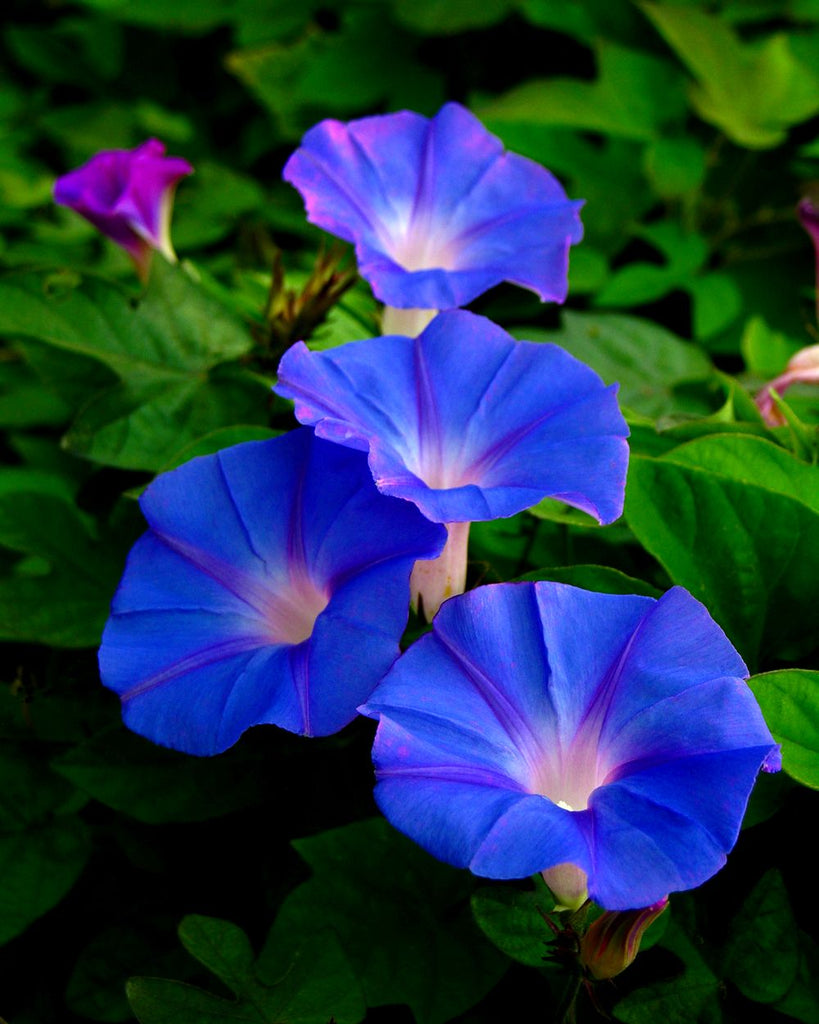 Royal Blue Morning Glory