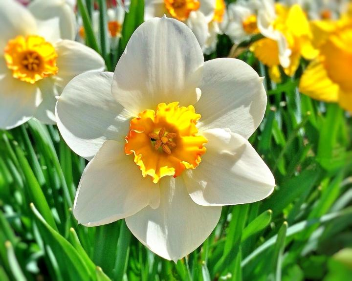 March's Birthflower: Daffodils