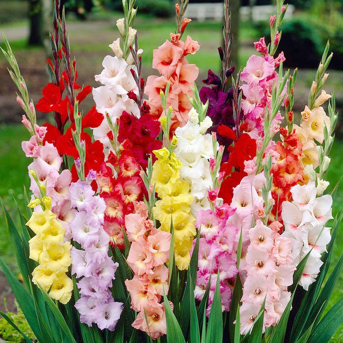 August's Birth Flower: The Gladiola