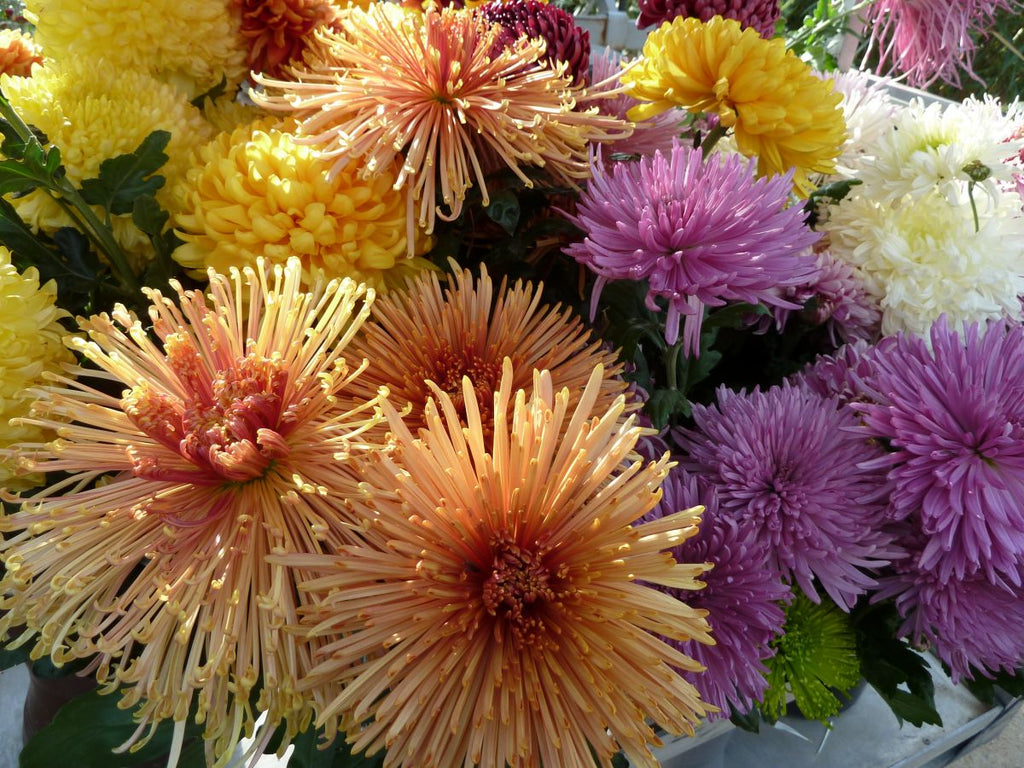 multi colored Chrysanthemums