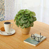 "11"" Watermelon Peperomia Artificial Plant in Ceramic Planter (Real Touch)"