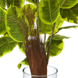 Rubber Plant in Glass Cylinder