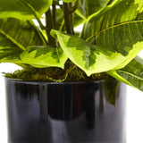 Rubber Plant in Glossy Cylinder (Real Touch)