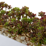 Sedum in Rectangular Planter
