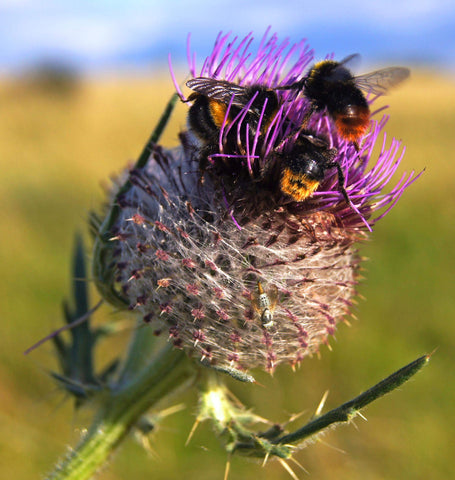 Honeybees on a thistle