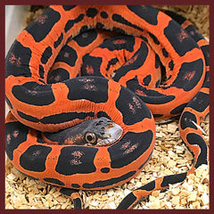 Snakes For Sale! Geckos For Sale! Variety of Snakes, Geckos
