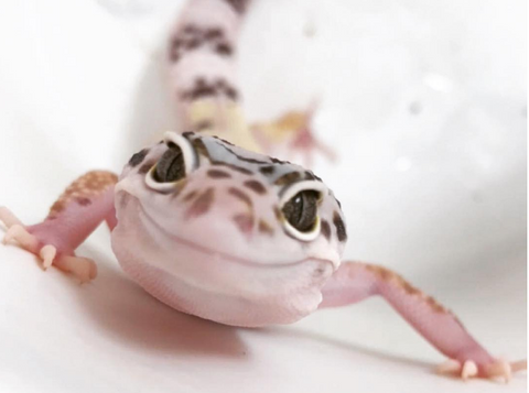 Heres What You Will Need To Care For Your New Leopard Geckos