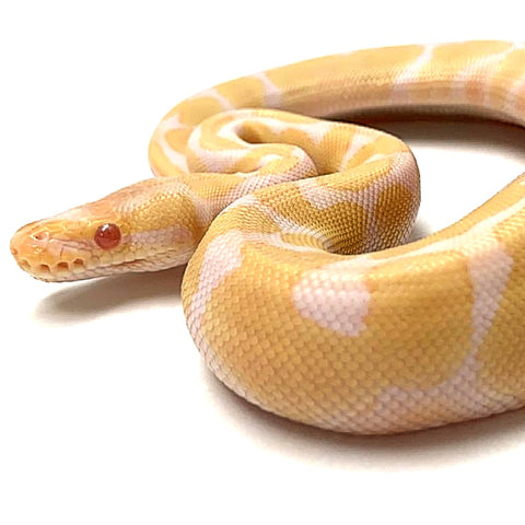 Albino  Enchi Ball Python- Male #2019M05