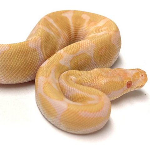 Albino  Enchi Ball Python- Male #2019M04