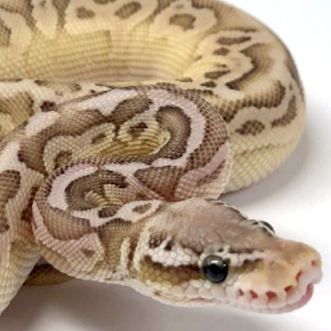 Black Pewter Lesser Cypress Ball Python Male - #2018M01