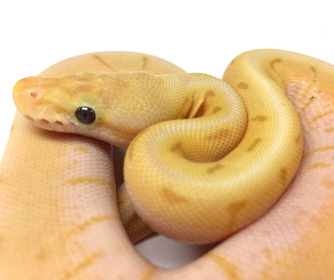 Banana Stinger Spinner Ball Python - Male #2017M02 - BHB Reptiles