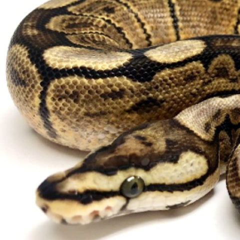 GHI MOJAVE SPIDER BALL PYTHON - FEMALE #2018F02