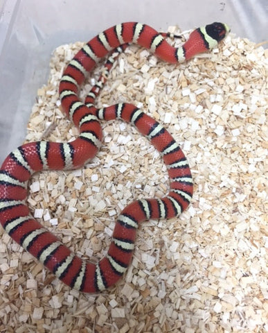 Arizona Mt. Kingsnake - BHB Reptiles