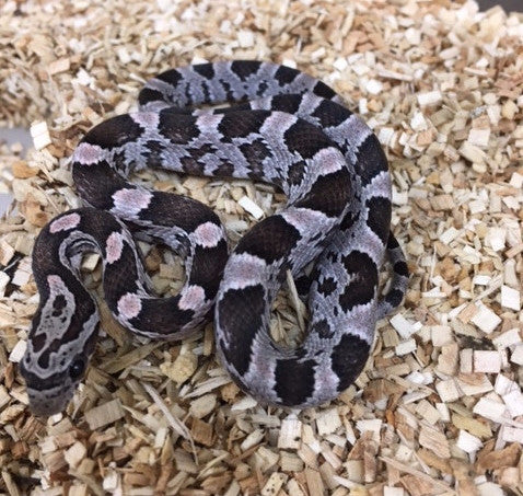 Coral Anerythristic Cornsnake - BHB Reptiles