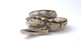 Super Vanilla Lesser Ball Python Female - #2016F001