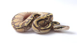 Pastel Super Vanilla Lesser Ball Python Female - #2016F002