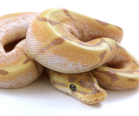 Banana Stinger Bee Ball Python - Male #2016M01