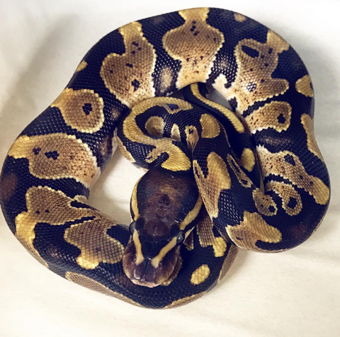 2017 Ball Python- Normal