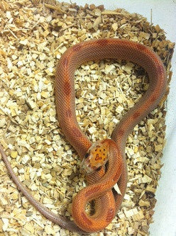 Sunkissed Striped Cornsnake