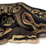 CHOCOLATE BLACK PASTEL BALL PYTHON - MALE #2018M02
