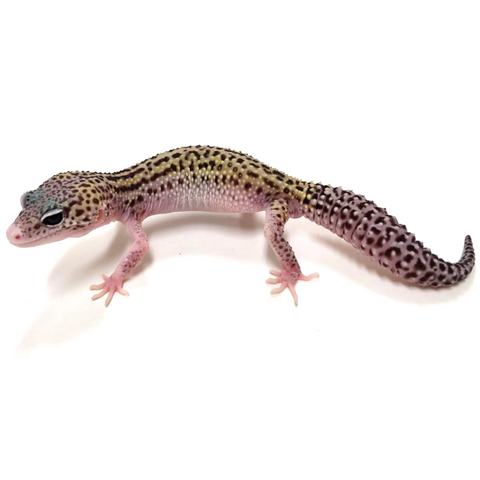 Bold Line Bred Snow Leopard Gecko -#I-H8-80116-1