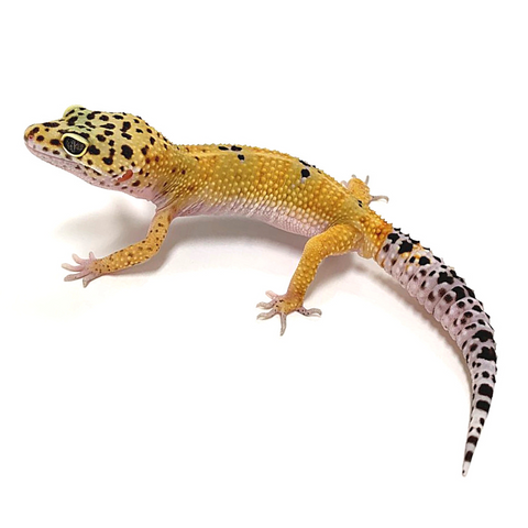Leopard Gecko Group -Tangerine Pos Het Tremper Albino Group