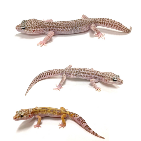 Leopard Gecko Group -Mack Snow Tremper Albino W/Y Group