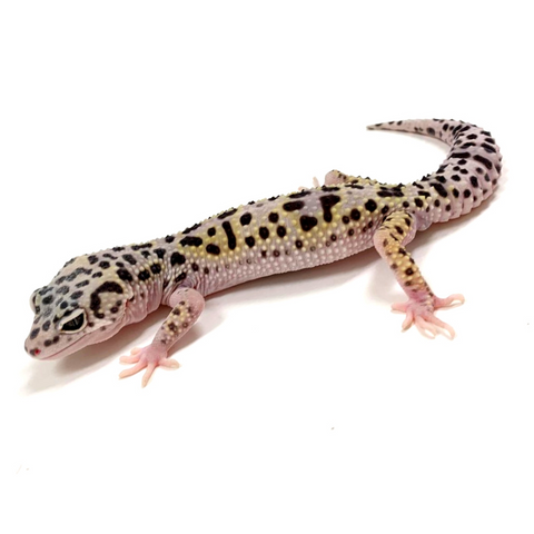 Leopard Gecko Group -Mack Snow W/Y Pos Het Tremper Albino & Eclipse Group