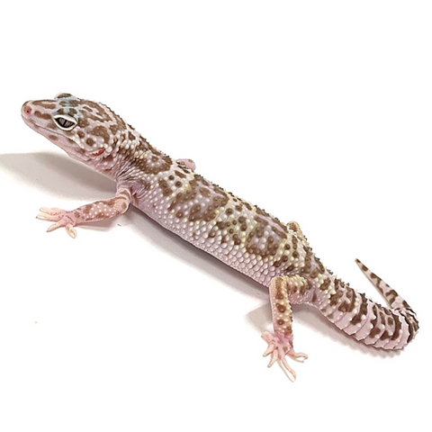 Leopard Gecko Group -Mack Snow Tremper Albino Group