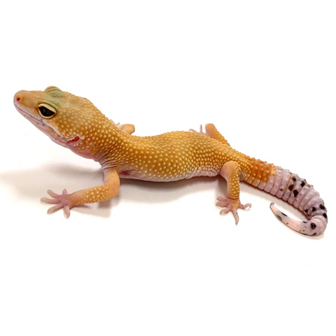 Leopard Gecko Group -Super Hypo Tangerine Carrot Tail Baldy Group
