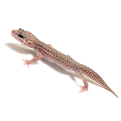 Leopard Gecko Group -Tremper Super Snow Murphy Patternless Group