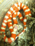 Albino Arizona Mt. Kingsnake - BHB Reptiles