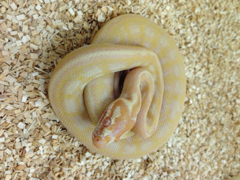 Albino Carpet Python- Female