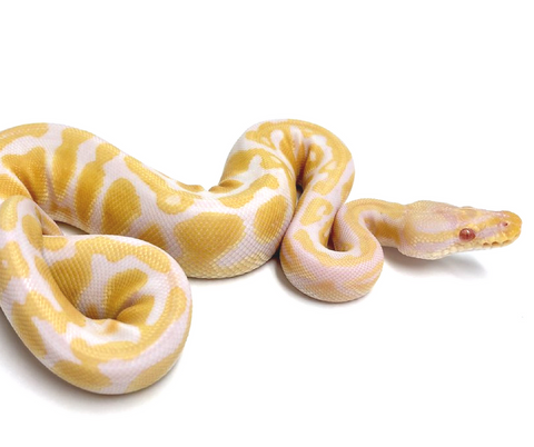 Albino Pastel Ball Python- Female #2017F02