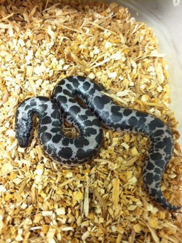 Anerythristic Kenyan Sand Boa - BHB Reptiles